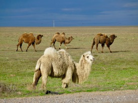 camels in steppe