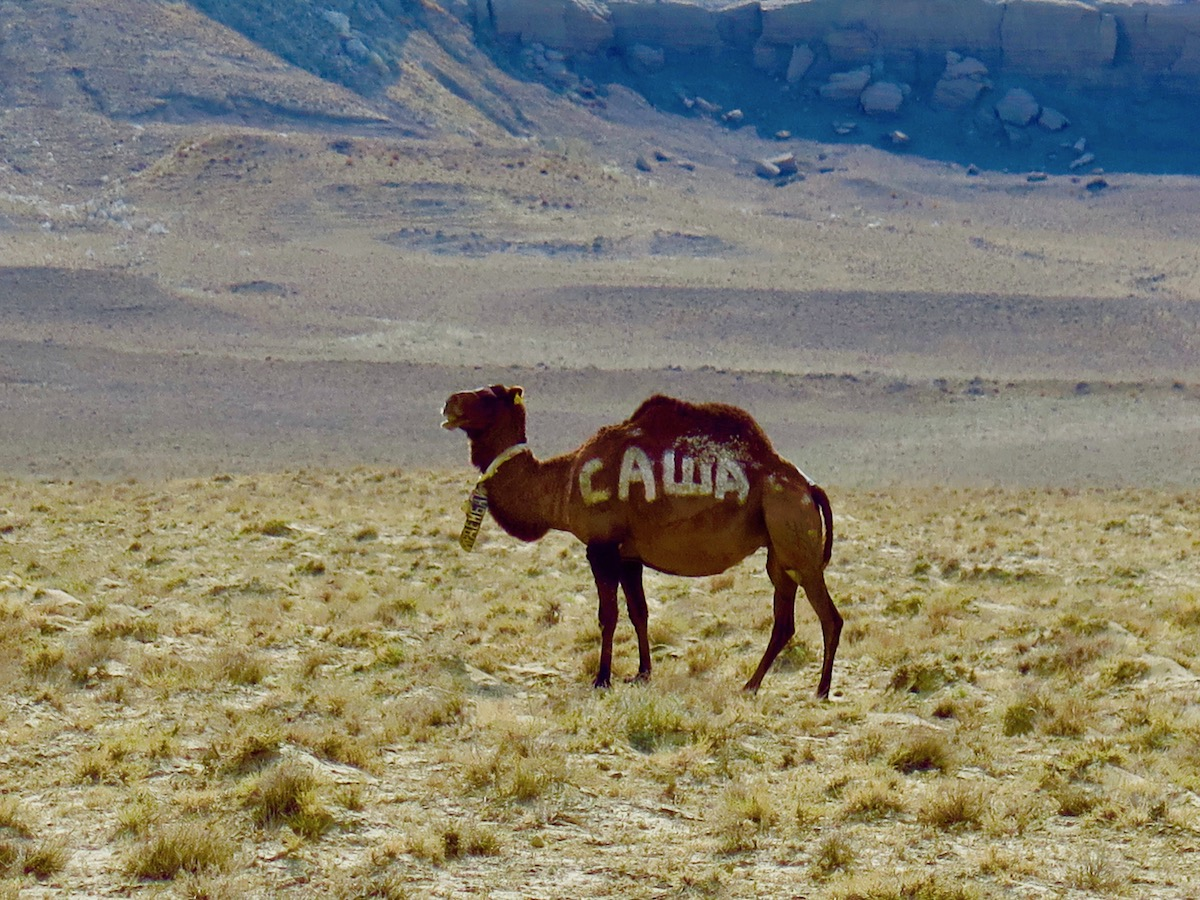 Camels with amazing signs