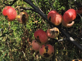 Sievers apple tree